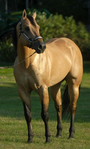 Quarter Horses Sunup Ranch Stallions Zan Parr Bar